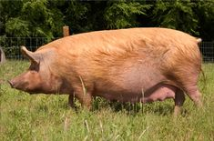 Today's Tamworth Pig breed is thought to be the most typical breed descended from the old indigenous species, the Old English Forest pig. It has maintained this status because at the end of the 18th Century, when many native breeds were 'improved' by crossing them with Chinese and Neapolitan stock, the Tamworth was not deemed fashionable and hence left alone. It is now therefore the oldest pure English breed.