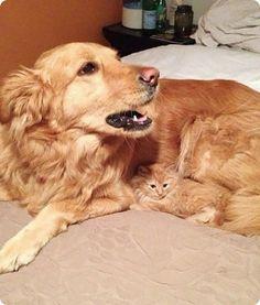 chaton roux camouflage golden retriever. Chut... le chien pense encore que je suis sa fourrure...