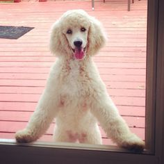 Adorable Cream Standard Poodle