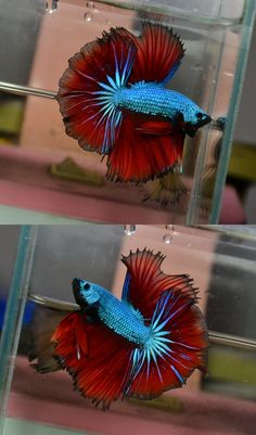 betta fishes- Green Red Dragon