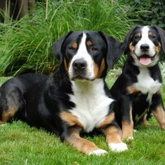 Greater Swiss Mountain Dog Puppy & Greater Swiss Mountain Dog Breed ... This is the next kind of dog I want...now to convince Jimmy