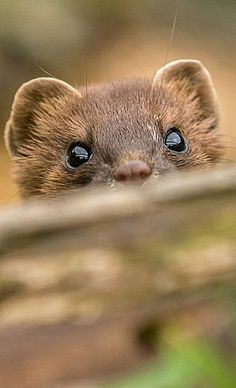 "Weasel (Stoat) - prized for their white ""ermine"" coat in the winter."