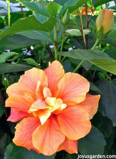Flower Friday:  Hibiscus