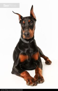 Purebred dobermann dog - stock photo