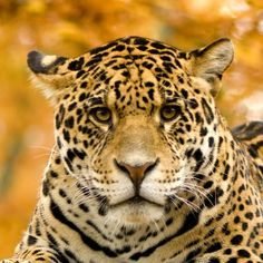 Jaguar - Panthera onca by Lifeonwhite. Jaguar ¨C Panthera onca in front of a white background Rainforest Theme, Rainforest Animals, Amazon Rainforest, Jungle Animals, Brazil Rainforest, Wild Animals, Theme Forest, Thinking Day, Biomes