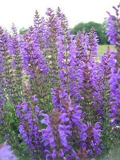 """Salvia syl.-Mainacht. May Night Perennial Salvia, Meadow Sage Height: Short 18 to 24"""" (Plant 12 apart) Bloom Time: Early Summer to Late Summer Sun-Shade: Full Sun to Mostly Sunny Zones: 4-8 Soil Condition: Normal, Sandy Flower Color / Accent: Blue / Blue One of our favorite Salvias. Spikes of the deepest blue begin in late May and continue through the summer."""