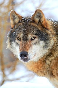 An alert Wolf 🐺 is watching you watching. Wolf Images, Wolf Photos, Wolf Pictures, Wolf Spirit, My Spirit Animal, Beautiful Creatures, Animals Beautiful, Malamute, Wolf World
