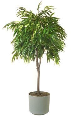Dracaena marginata madagascar dragon tree super low for Tall indoor plants low maintenance