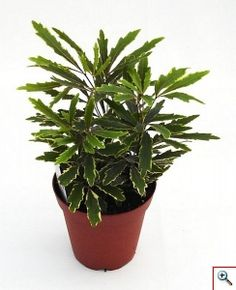 False Aralia -- A delicate plant both in appearance and care.  Graceful fronds with serrated leaves in a black/green color.