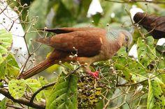 Macropygia amboinensis - kasztanówka cienkodzioba - Brown Cuckoo Dove