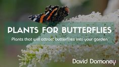 Attracting butterflies with butterfly friendly plants