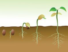 The health of a plant depends upon its roots. The yield of vegetables and fruits depends upon roots. Roots supply water and nutrients to a plant. Roots als
