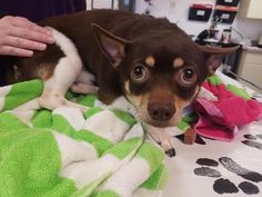 Igor is an adoptable Chihuahua searching for a forever family near Fort Myers, FL. Use Petfinder to find adoptable pets in your area.