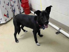 12/03/16-***SEE VIDEO** SUPER URGENT - HOUSTON -NALA - ID#A473351 My name is NALA I am a spayed female, black and white German Shepherd Dog. I am about 9 months old. I have been at the shelter since Dec 01, 2016. Harris County Public Health and Environmental Services. https://www.facebook.com/petsofharriscountyanimalshelterhouston/videos/1329065340490594/