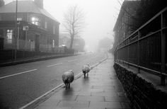 Wales. Sheep in the village of Blaennau Ffestiniog, Wales, who walk the village streets during winter as the tarmac is warmer than the surrounding fields and hills. A year after the Chernobyl nuclear accident, it was finally rcognized that levels of irradiation among Welsh sheep were too high for human safety. Sheep from parts of Wales still cannot be sold for domestic consumption. 1986.
