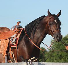 Infinity RCA at the Kentucky Horse Park 2013 - Egyptian Event Arabian Horse Show