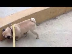 Frankie the pug walking on his front legs! This video is hilarious!!!