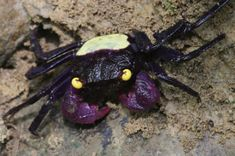 photo credit: Chris Lukhaup from P. K. L. Ng et al., 2015  One of two new species of tiny Vampire crabs, Geosesarma dennerle, about 14 mm (0.5 inch), Central Java