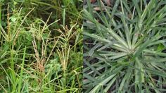 Há gramas especiais, capazes de tratar e curar várias doenças, como é o caso desta sobre a qual falaremos agora.