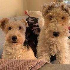 とっても仲良し #wirefoxterrier #wirefoxterriers ... Wirehaired Fox Terrier, Fox Terriers, Wire Fox Terrier, Cute Dogs And Puppies, Doggies, Wire Haired Terrier, Jack Russells, Pet Id, Duffy