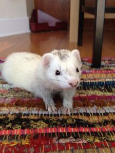 Ferret on the carpet, being cute