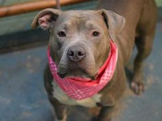 SAFE.   TO BE DESTROYED - 02/15/15 Brooklyn Center My name is KATIE. My Animal ID # is A1027547. I am a female gray am pit bull ter mix. The shelter thinks I am about 1 YEAR I came