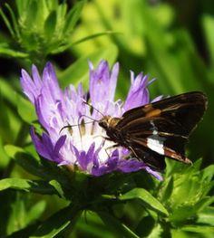 Stokesia laevis (Perennial Cornflower, Stokes Aster) - Gardens in the Wood of Grassy Creek