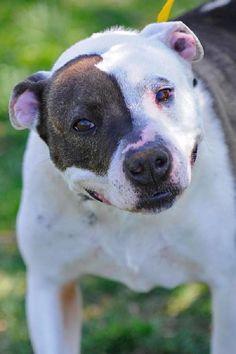 Alexa Pit Bull Terrier • Adult • Female • Medium Washington County/Johnson City Animal Control Ctr Johnson City, TN
