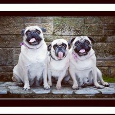 The Common Questions A Pug Breeder Should Answer - http://weloveourpugs.net/common-questions-pug-breeder-answer/