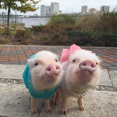 Priscilla is a tiny pig who is fond of the color pink, bows and her younger brother Poppleton.