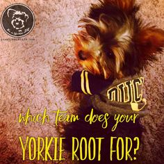 Check it out: https://itsayorkielife.com/which-team-does-your-yorkie-root-for/