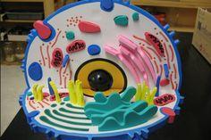Die 37 Besten Bilder Von Zellmodell Zellenmodell