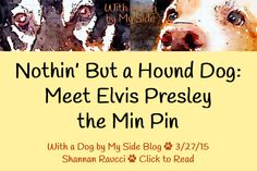 """""""Nothin' But a Hound Dog: Meet Elvis Presley the Min Pin"""" (3/27/15)   With a Dog by My Side #dog #blog"""