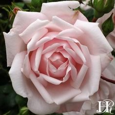 Roses at Heirloom Roses. Your source for rose bushes, climbing roses, New Dawn roses and climbing plants New Dawn Climbing Rose, Climbing Roses, Heirloom Roses, Garden Shrubs, Garden Plants, Flower Gardening, Outdoor Plants, Coming Up Roses, Gardens