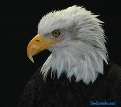 bald eagle   Bird Intelligence: The Bald Eagle