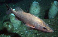 "HowStuffWorks ""Top 10 Most Endangered Fish Species""~Bocaccio Rockfish Endangered Fish, Endangered Species, Rockfish, Prehistoric Creatures, Marine Life, Sea Creatures, Pet Birds, Exotic, Reptiles"