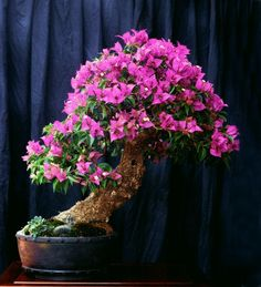 A Borrowed Bougainvillea Bonsai: Bracts and All | Bonsai Bark