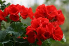 Táto kvetina by mala byť v každej rodine! Indoor Flowers, Indoor Plants, Fabric Flower Brooch, Malva, Silk Flowers, Houseplants, Garden Plants, Lush, Garden Design