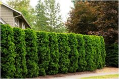 Holmstrup Eastern Arborvitae - Monrovia - Holmstrup Eastern Arborvitae Zone This densely branched, compact, naturally narrow and conical evergreen has a neat, formal appearance. Holds dark green color well throughout the cold season. Privacy Hedge, Privacy Plants, Backyard Privacy, Privacy Screens, Landscape Design, Garden Design, Desert Landscape, House Landscape, Arborvitae Tree