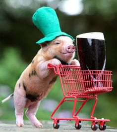 Happy St. Patrick's Day From This Micro Pig Pushing A Guiness Around In A Shopping Cart