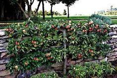 espaliering fruit trees