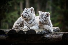 White tiger cubs by Jean-Claude Sch. on 500px