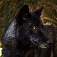 Amaroq the black Wolf