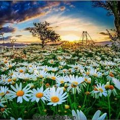 Lá vem ela Pelas praças e jardins Sorridente e bela  Chegou a primavera! Na foto, Mirante da Luz e o jardim das margaridas/Florianópolis. Foto: Cristian Stassun.