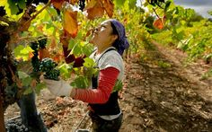 California Wine Crop Smaller this year - how will this effect wine exports as well as imports ?