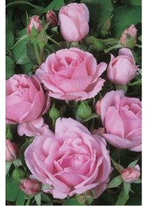Ballade®. Deze gezonde, zeer rijk doorbloeiende  perkroos heeft vrij grote, schaalvormige bloemen in een opvallende helderroze kleur, die mooi contrasteert met het frisgroene blad. De groei is compact en breedbossig.