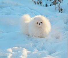 It's a floopy poof! (I choiced this picture because it shows how a pomeranian can be warm even in the cold winter snow)