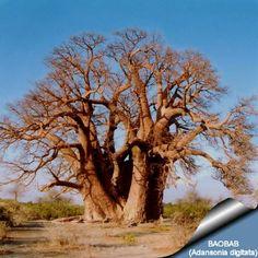 Adansonia digitata ( Baobab )