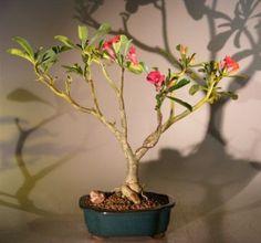 Desert Rose Bonsai - (Adenium Obesum)
