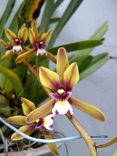 Cymbidium finlaysonianum. Orchid. Borneo
